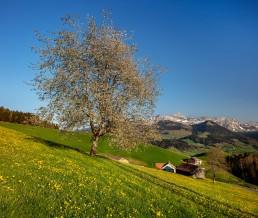 Appenzell, Appenzell Ausserrohden, Appenzellerland, Frühling, Jahreszeiten, Landschaft und Natur, Natur, Orte, Ostschweiz, Schweiz, Spring, Suisse, Switzerland, Säntis, spring