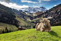 Alp, Alpen, Alps, Appenzell, Appenzell Ausserrohden, Berg, Berge, Frühling, Gipfel, Hundwil, Kühe, Ostschweiz, Schweiz, Spring, Suisse, Switzerland, Säntis, Urnäsch, alps