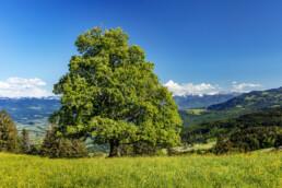 Appenzell Ausserrohden, Baum, Gais, Ostschweiz, Schweiz, Suisse, Switzerland