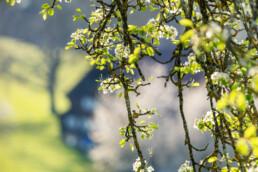 Baum, Frühling, Herisau, Ostschweiz, Schweiz, Spring, Suisse, Switzerland